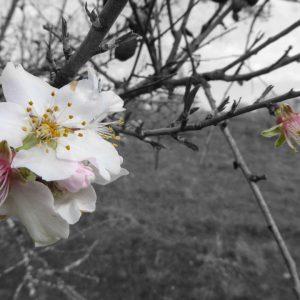 Mi visión sobre la fiesta del «almendro en flor»