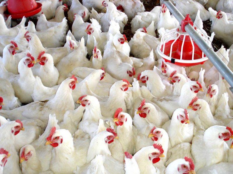 Dan permiso para ampliar una explotación avícola