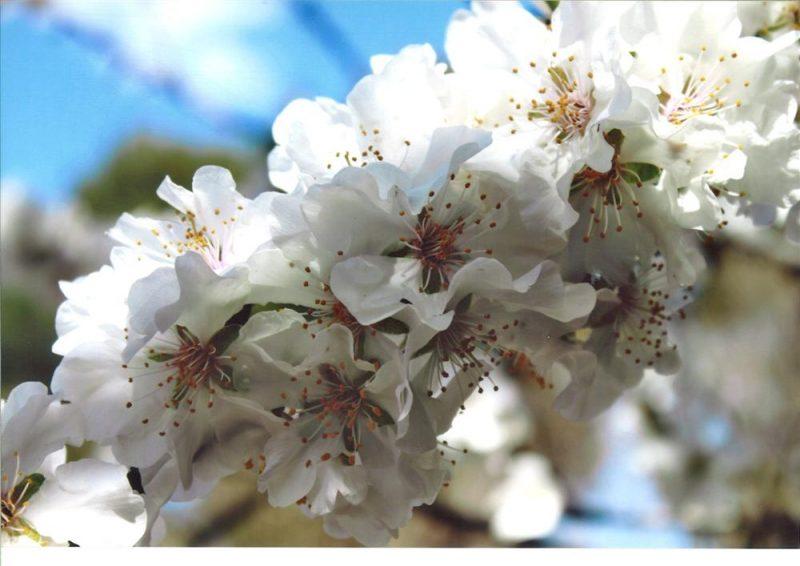Concurso fotográfico Almendro en Flor